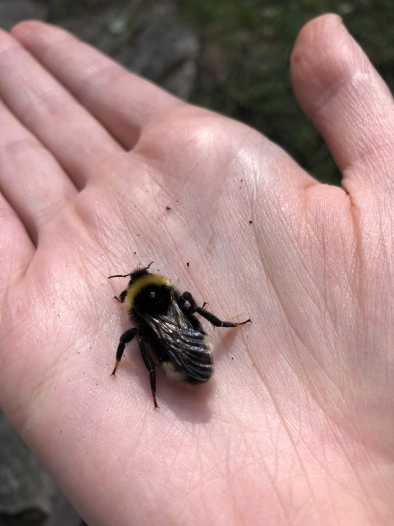 A fair-skinned hand holds a plump bumble bee. It is seen from behind and its little back legs are visible.