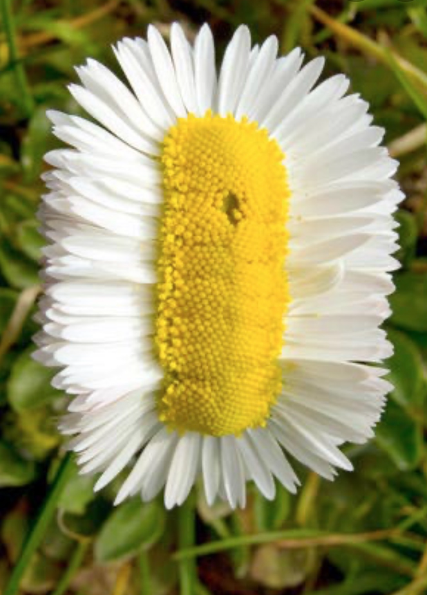 A flower that looks like a daisy, with white petals and a yellow center, but it seems as though the center has been widened, resulting in a flower with a long loaf-life yellow center and white petals sticking out all around.