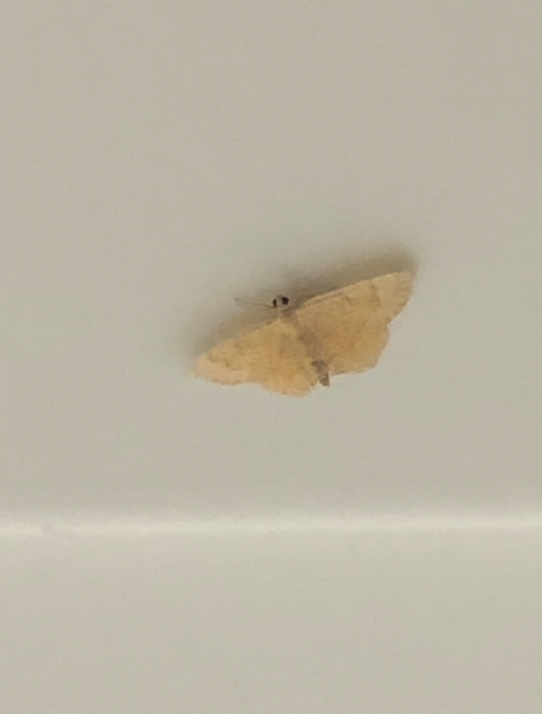 A white background featuring a small, beige moth with two black beady eyes.