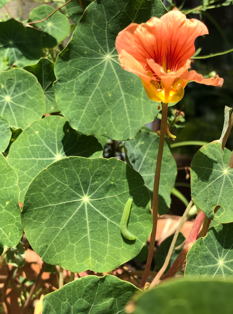 An orange flower is tall and standing amongst lots of wide and circular green leaves. On one leaf is a green caterpillar.