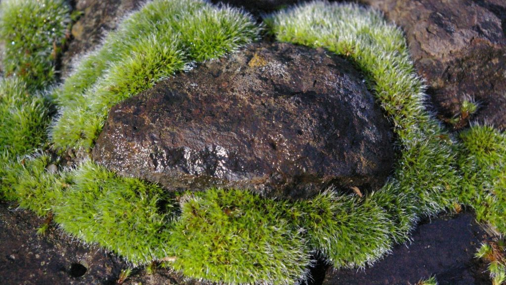 A cute wide dark rock surrounded by bright green moss.