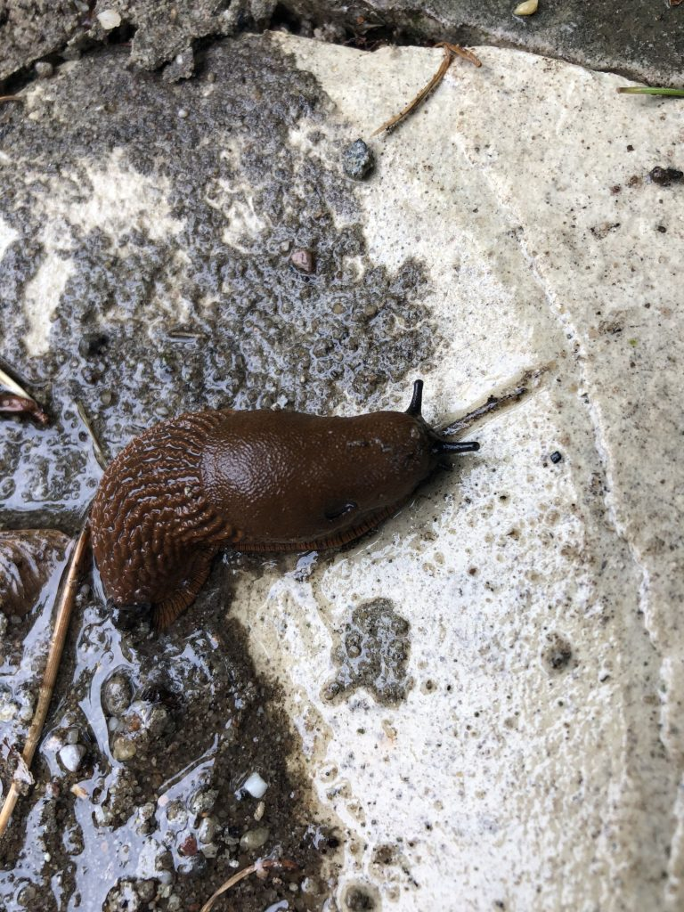 Little thick brown slug crawling about on a bit of concrete with cute little black antennae.