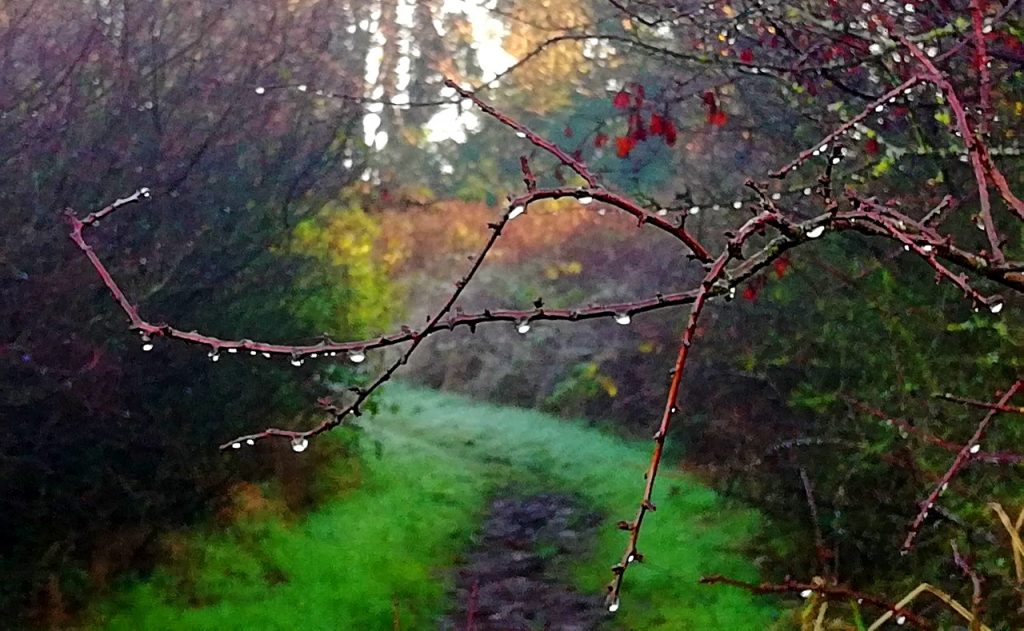 dew covered brambles growing across a muddy, narrow path on a cold winters day